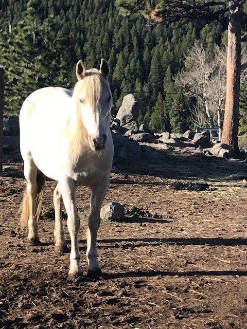 Mirabai Arabian/Paint Rescue Horse